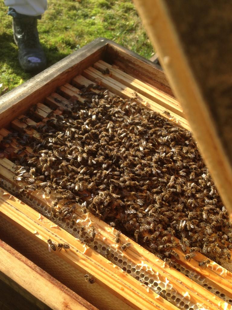 Im Winter bilden die Bienen eine Traube.