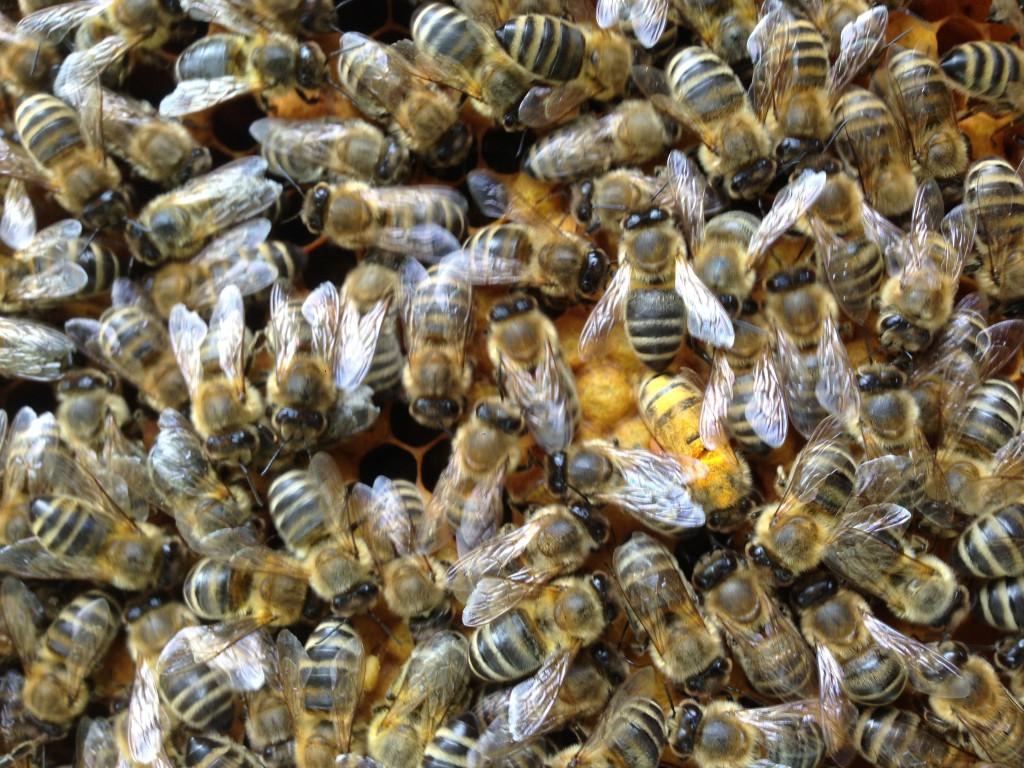 Bienen baden manchmal richtig in Pollen