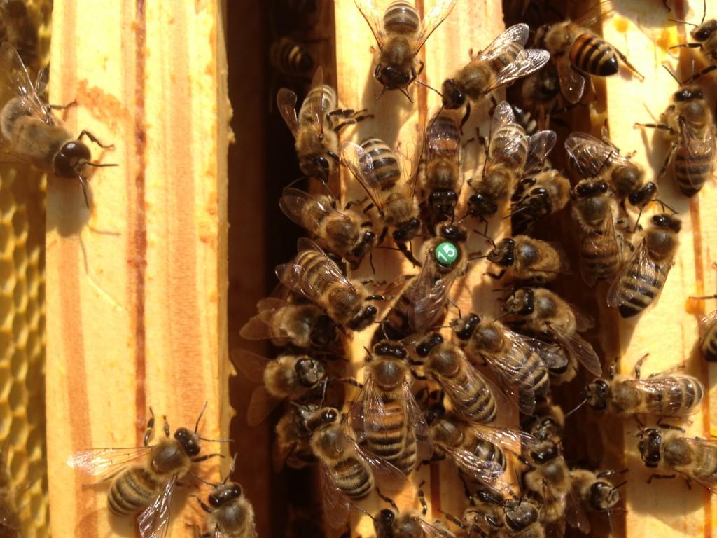Eine Königin mit ihren Pflegebienen