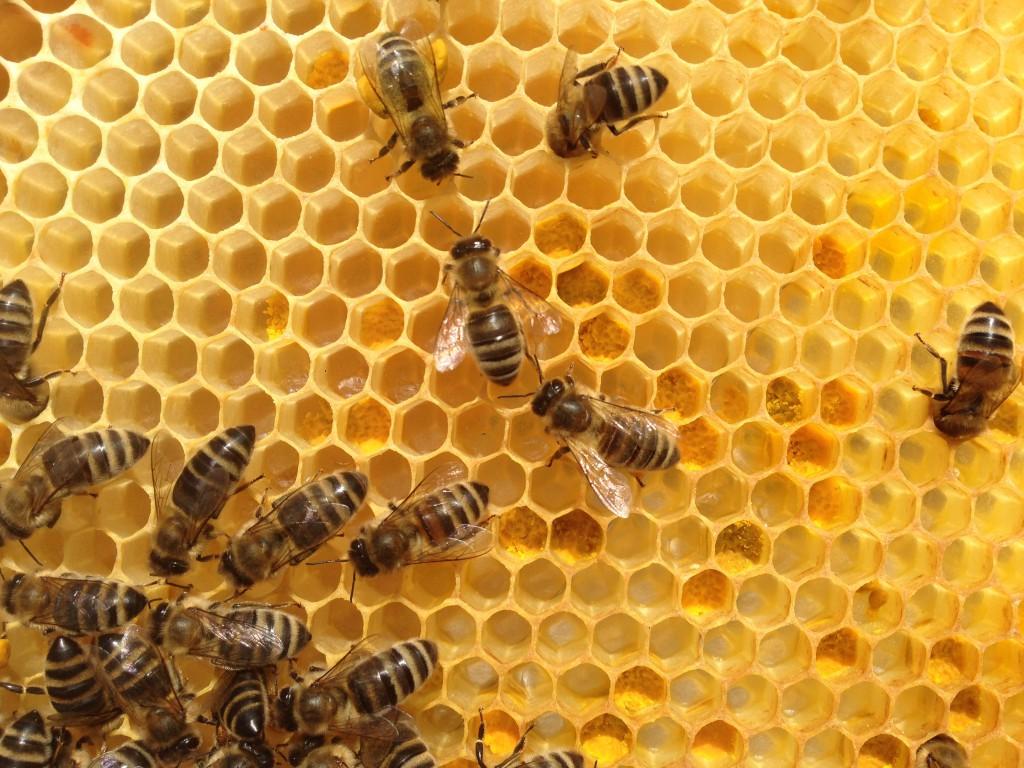 Zu Beginn des Pollensammelns